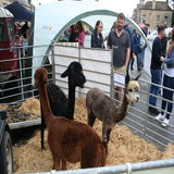 Cuddly Cotswold Alpacas a big hit with the children